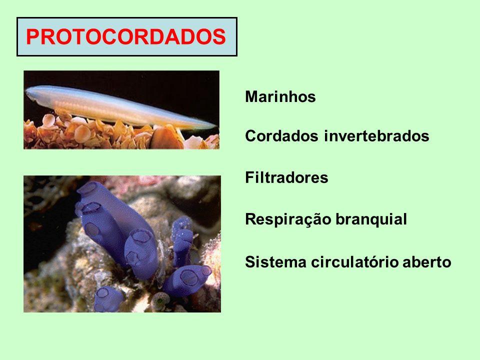Cefalocordados Notocorda da cabeça à cauda, durante toda vida Urocordados Notocorda restrita à cauda, somente na fase larval Ex: anfioxo Ex: ascídia