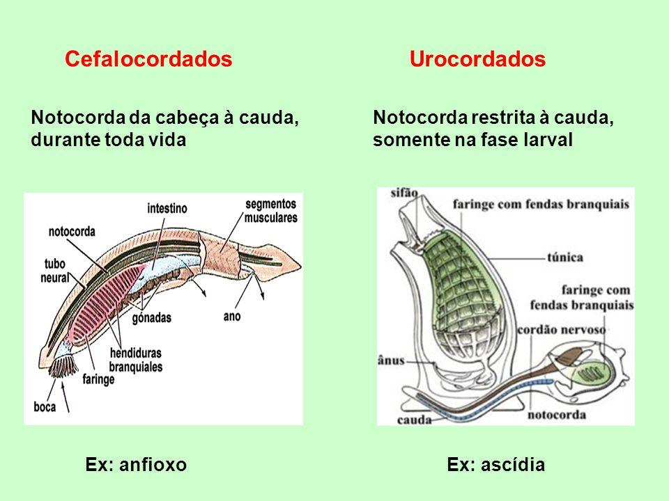 CICLOSTOMADOS Boca circular (dentículos córneos) Corpo alongado e cilíndrico (sem escamas) Mantém notocorda durante a fase adulta Arcos vertebrais (cartilaginosos)