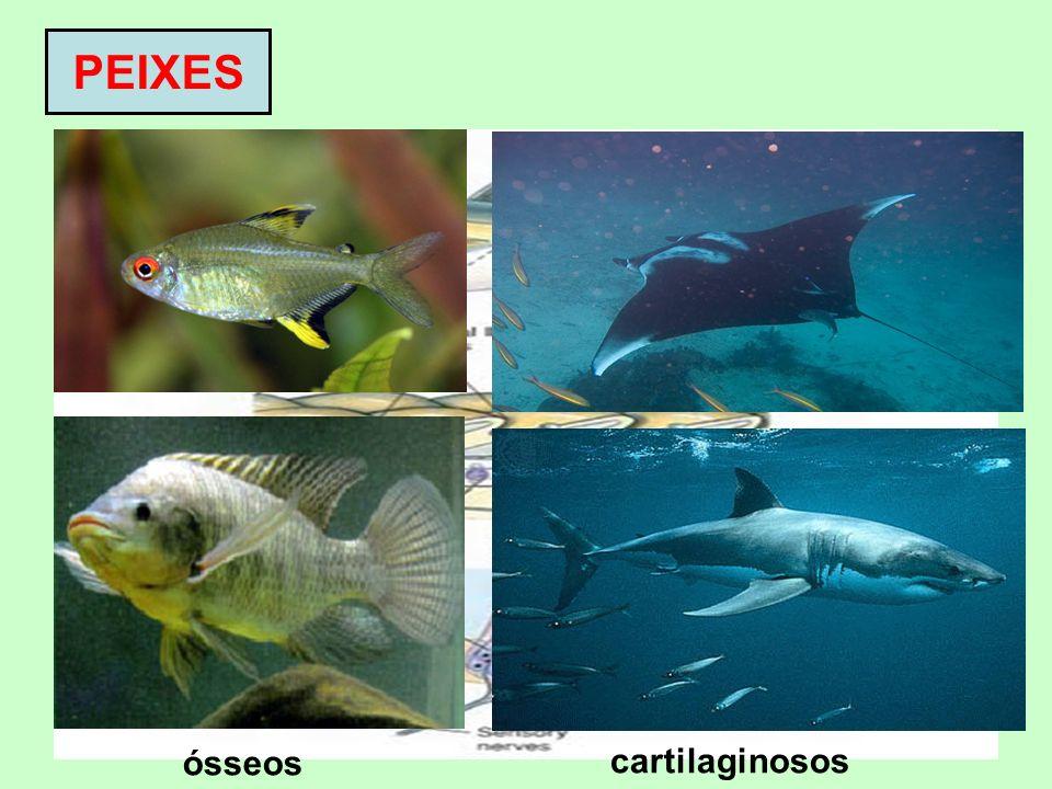 PEIXES Classe Osteichthyes (peixes ósseos) e Chondrichthyes (peixes cartilaginosos) Pecilotérmicos Corpo geralmente recoberto por escamas Respiração b