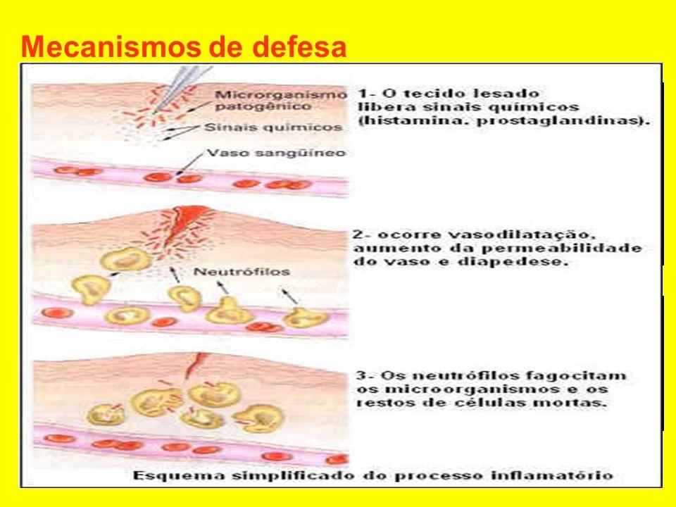 Células apresentadoras de antígenos (macrófagos) aos linfócitos T4 auxiliadores Os linfócitos T4 liberam substâncias como interleucinas e interferons, capazes de estimular outros linfócitos (linfócitos matadores e linfócitos B) Os linfócitos B se transformam em plasmócitos os quais produzem anticorpos Alguns linfócitos B se diferenciam em células de memória