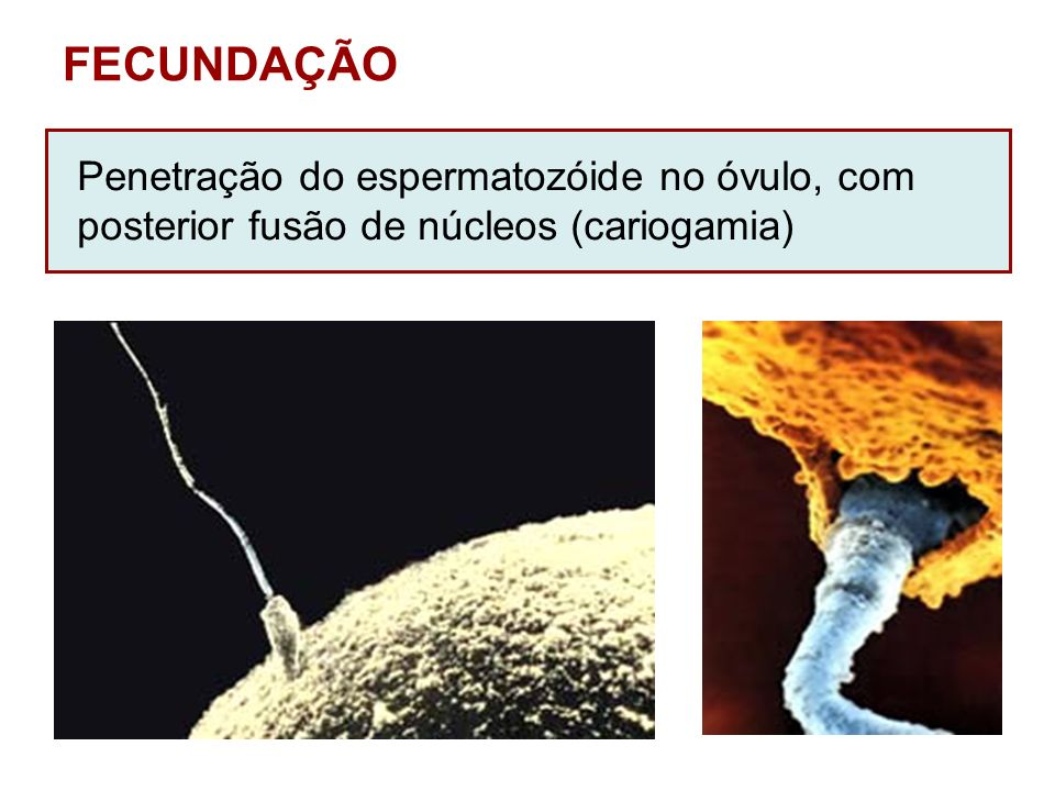 FECUNDAÇÃO Penetração do espermatozóide no óvulo, com posterior fusão de núcleos (cariogamia)