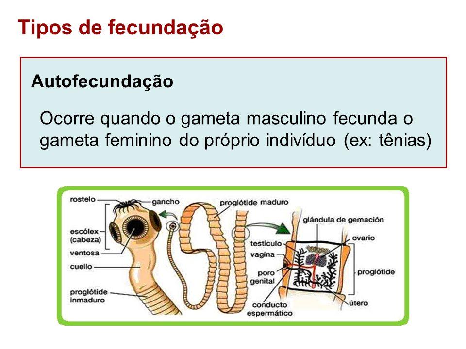 Tipos de fecundação Autofecundação Ocorre quando o gameta masculino fecunda o gameta feminino do próprio indivíduo (ex: tênias)