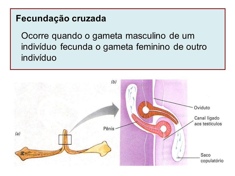 Fecundação cruzada Ocorre quando o gameta masculino de um indivíduo fecunda o gameta feminino de outro indivíduo