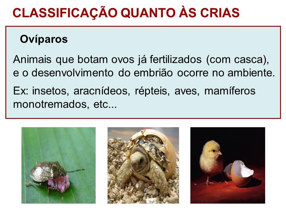 CLASSIFICAÇÃO QUANTO ÀS CRIAS Ovíparos Animais que botam ovos já fertilizados (com casca), e o desenvolvimento do embrião ocorre no ambiente. Ex: inse