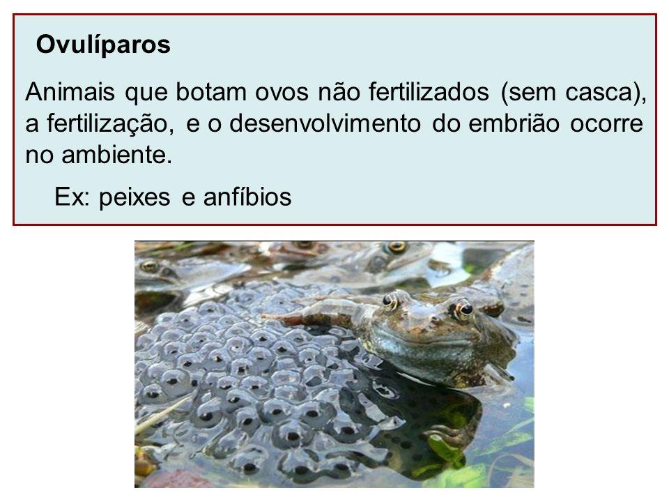Ovulíparos Animais que botam ovos não fertilizados (sem casca), a fertilização, e o desenvolvimento do embrião ocorre no ambiente. Ex: peixes e anfíbi