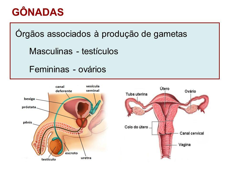 GÔNADAS Órgãos associados à produção de gametas Masculinas - testículos Femininas - ovários