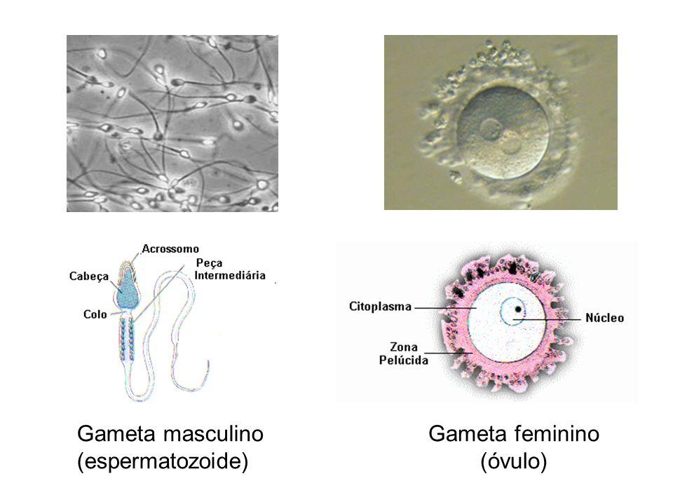 Gameta masculino (espermatozoide) Gameta feminino (óvulo)