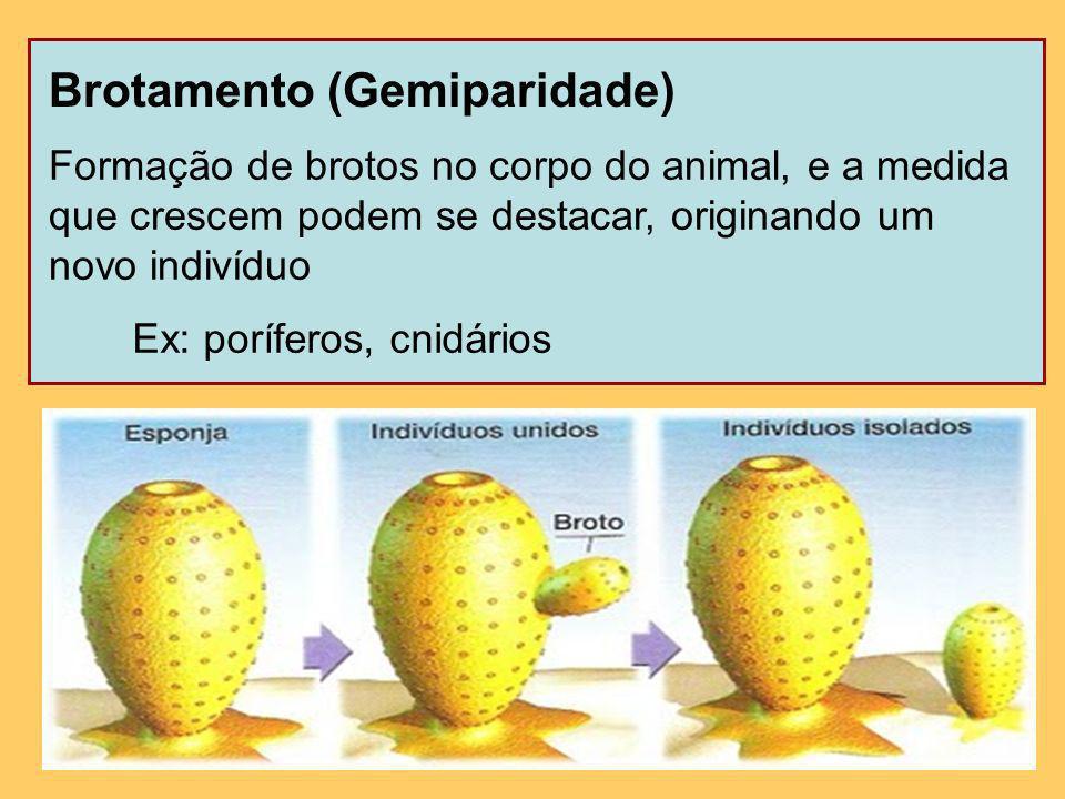 Gemulação Formação de brotos internos (gêmulas) em esponjas dulcícolas quando as condições ambientais são desfavoráveis (frio ou seca)