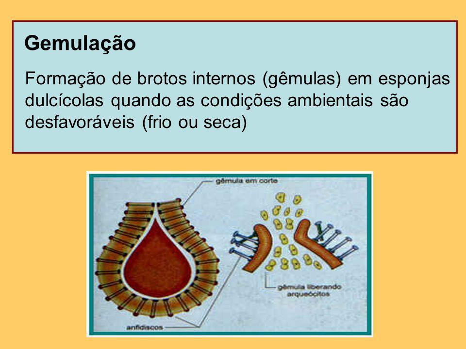 Estrobilização Corresponde a sucessivas segmentações em certos pólipos de cnidários.