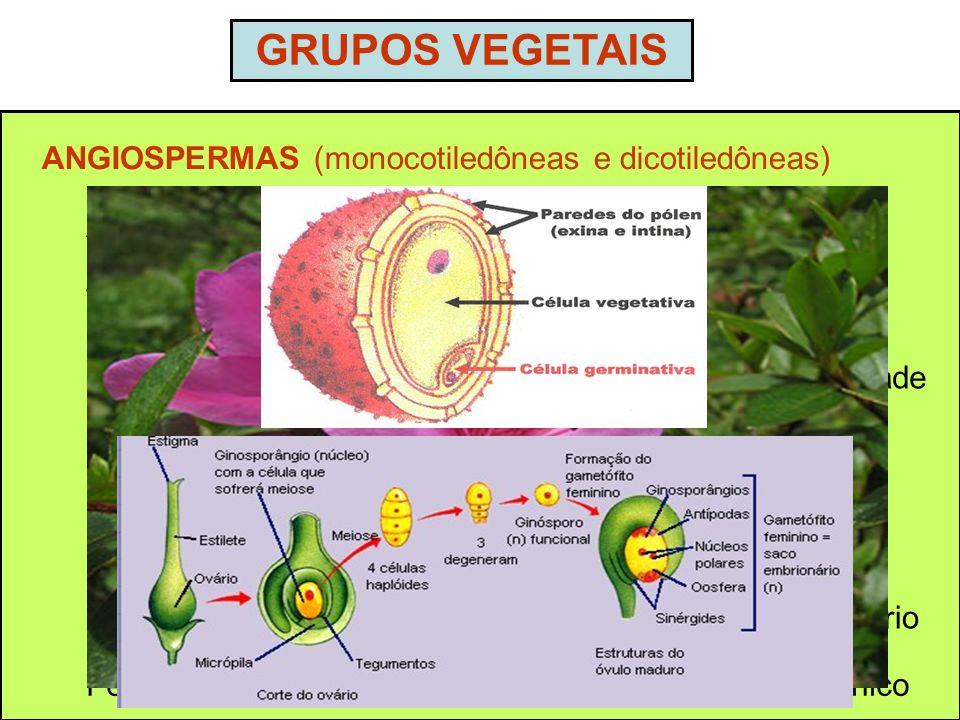 GRUPOS VEGETAIS ANGIOSPERMAS (monocotiledôneas e dicotiledôneas) Ampla distribuição geográfica Vasculares – tamanho variável Presença de grãos de póle