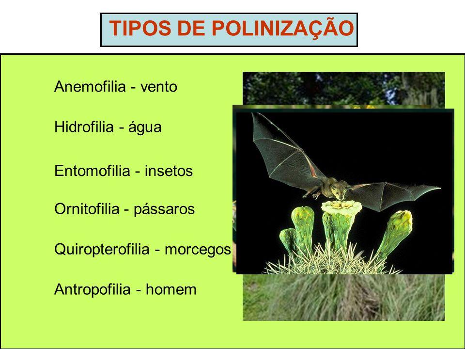 TIPOS DE POLINIZAÇÃO Anemofilia - vento Hidrofilia - água Entomofilia - insetos Ornitofilia - pássaros Quiropterofilia - morcegos Antropofilia - homem