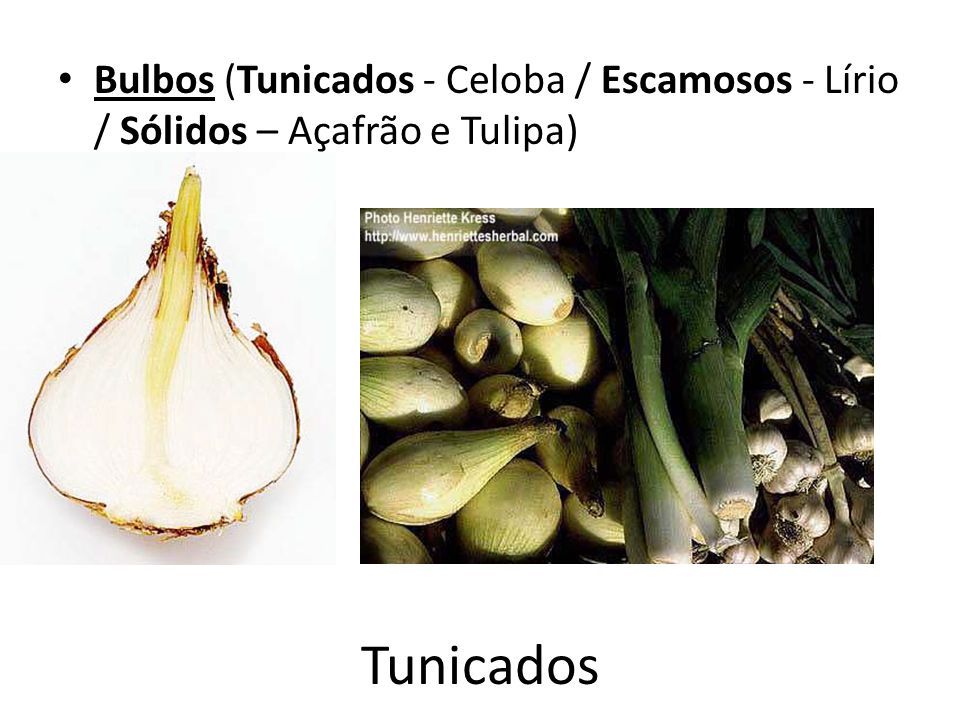 Tunicados Bulbos (Tunicados - Celoba / Escamosos - Lírio / Sólidos – Açafrão e Tulipa)
