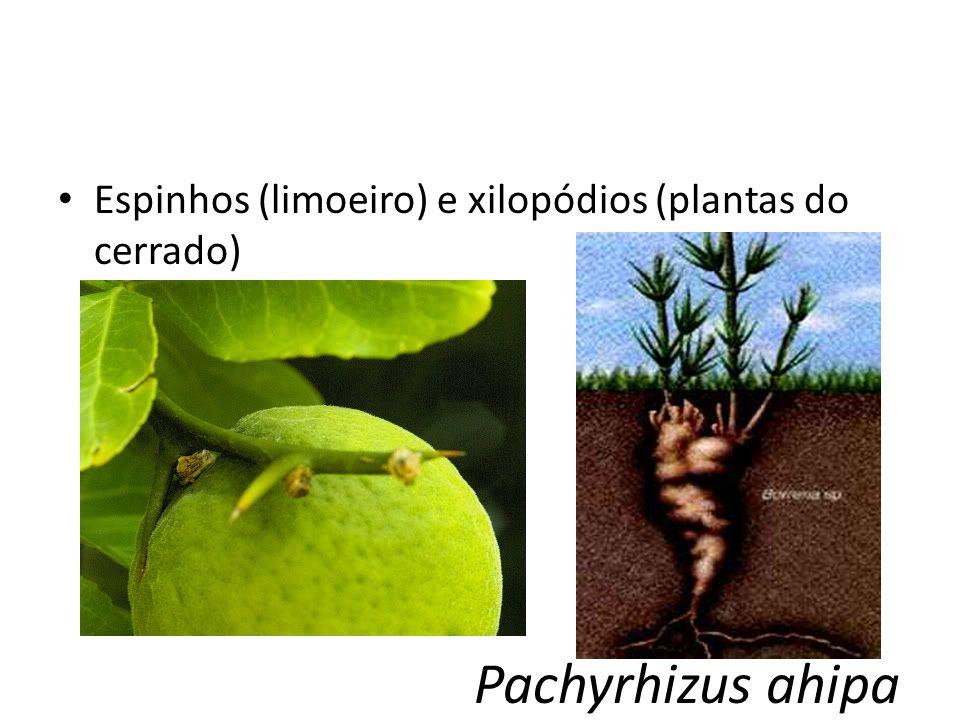 Pachyrhizus ahipa Espinhos (limoeiro) e xilopódios (plantas do cerrado)