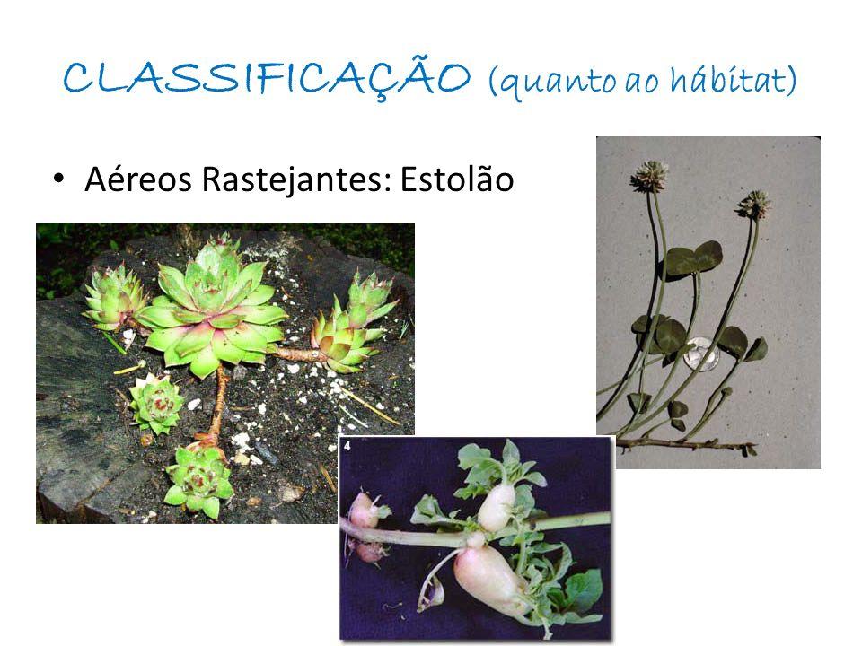 CLASSIFICAÇÃO (quanto ao hábitat) Subterrâneos: Rizoma / Tubérculo / Bulbos - Rizomas: