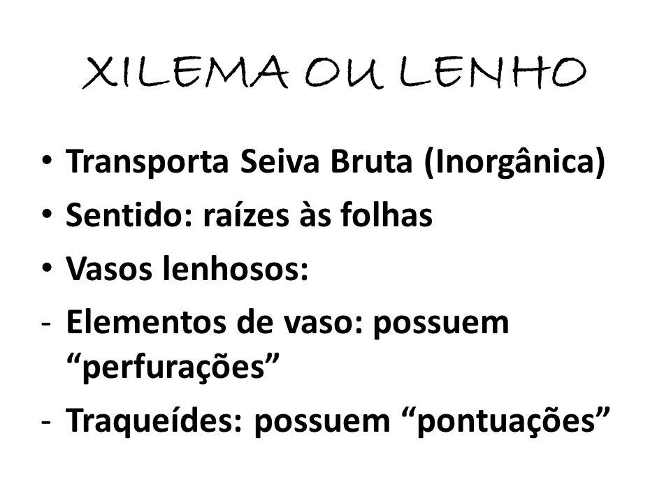 XILEMA OU LENHO Transporta Seiva Bruta (Inorgânica) Sentido: raízes às folhas Vasos lenhosos: -Elementos de vaso: possuem perfurações -Traqueídes: pos
