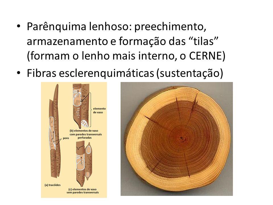 Parênquima lenhoso: preechimento, armazenamento e formação das tilas (formam o lenho mais interno, o CERNE) Fibras esclerenquimáticas (sustentação)