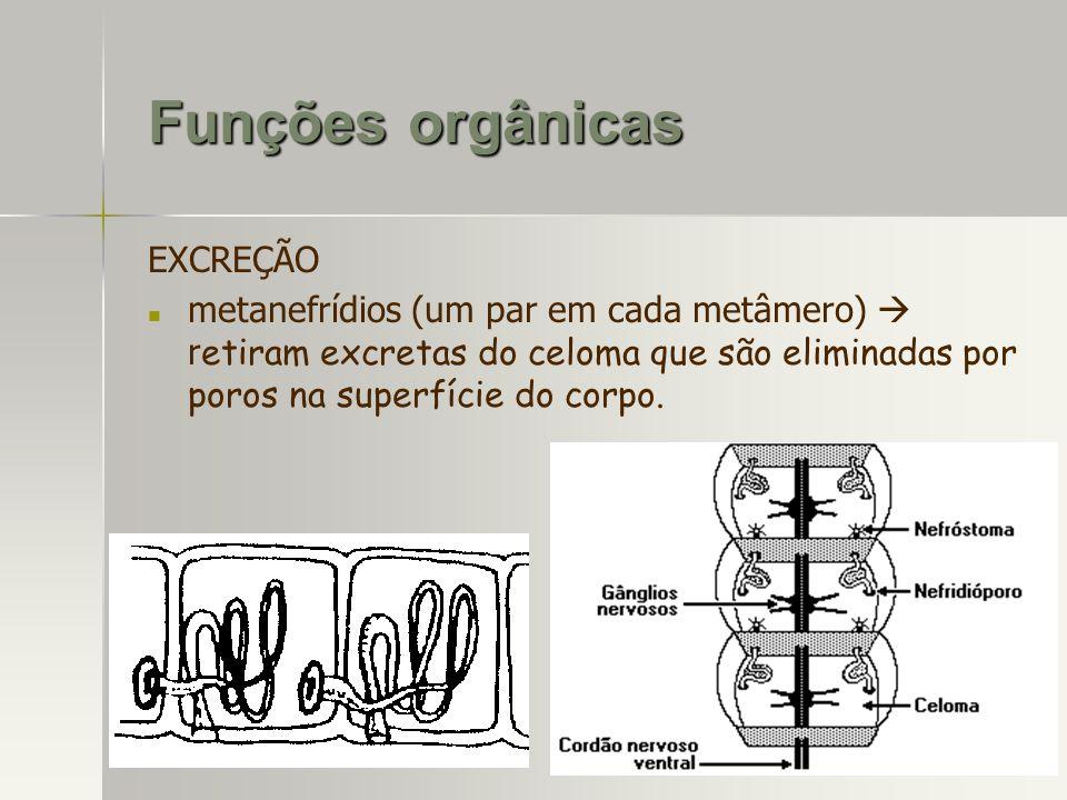 EXCREÇÃO metanefrídios (um par em cada metâmero) r etiram excretas do celoma que são eliminadas por poros na superfície do corpo. Funções orgânicas