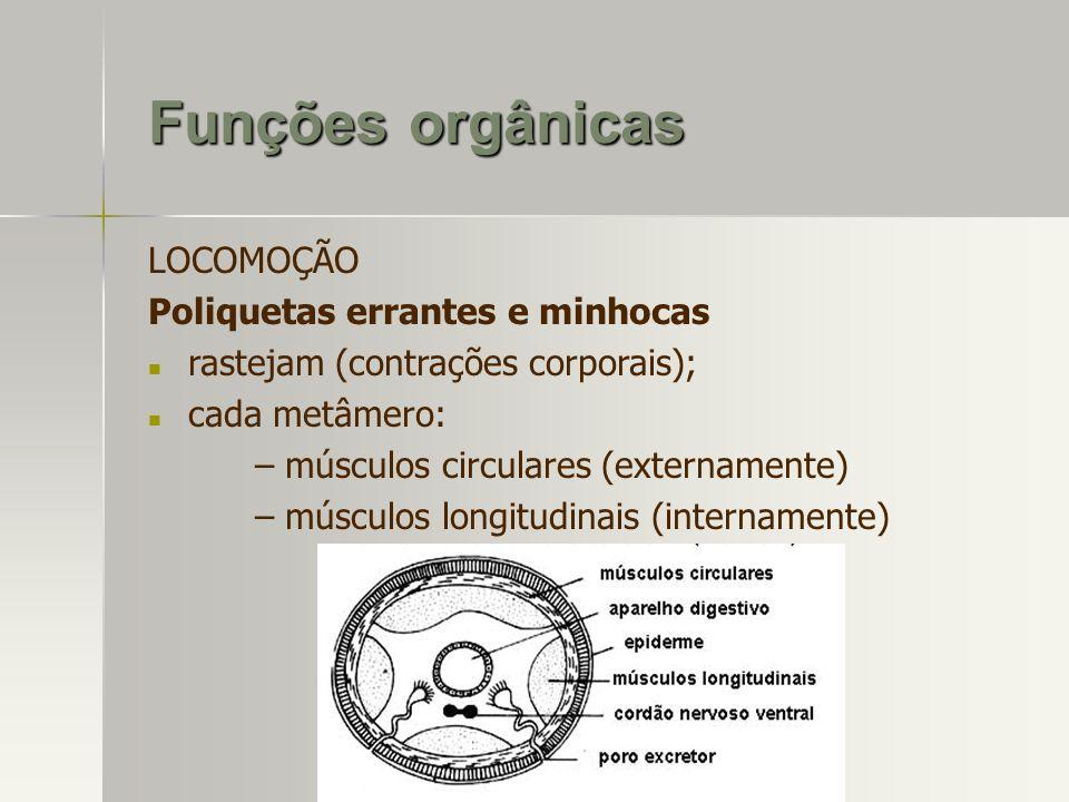 LOCOMOÇÃO Poliquetas errantes e minhocas rastejam (contrações corporais); cada metâmero: – músculos circulares (externamente) – músculos longitudinais