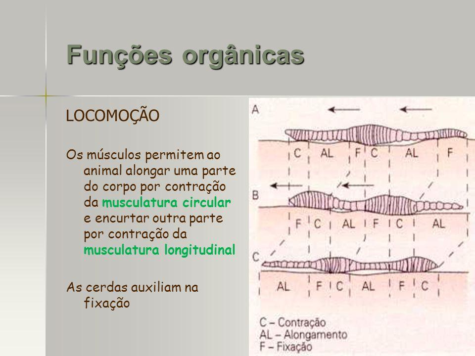 LOCOMOÇÃO Os músculos permitem ao animal alongar uma parte do corpo por contração da musculatura circular e encurtar outra parte por contração da musc