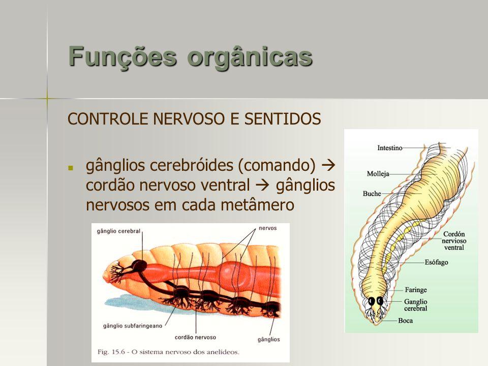 CONTROLE NERVOSO E SENTIDOS gânglios cerebróides (comando) cordão nervoso ventral gânglios nervosos em cada metâmero
