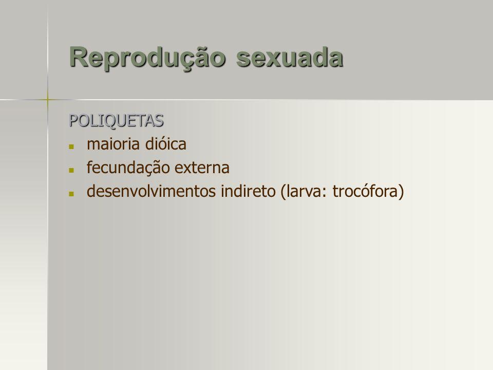 Reprodução sexuada POLIQUETAS maioria dióica fecundação externa desenvolvimentos indireto (larva: trocófora)