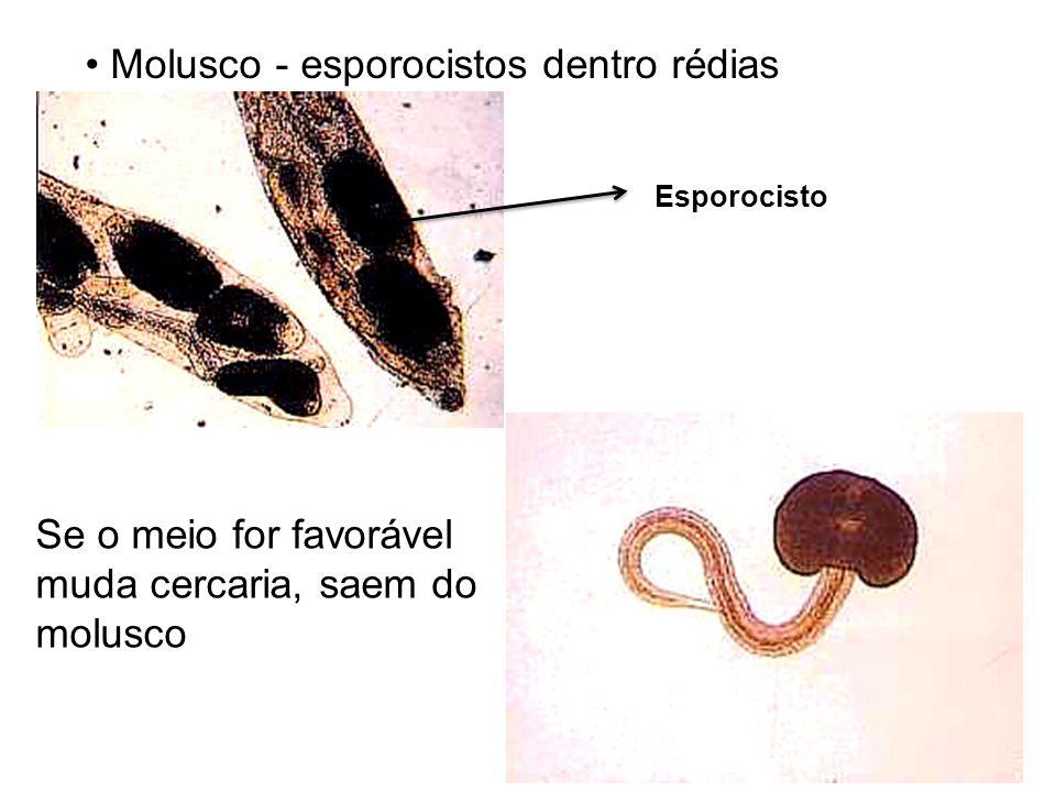 Molusco - esporocistos dentro rédias Se o meio for favorável muda cercaria, saem do molusco Esporocisto