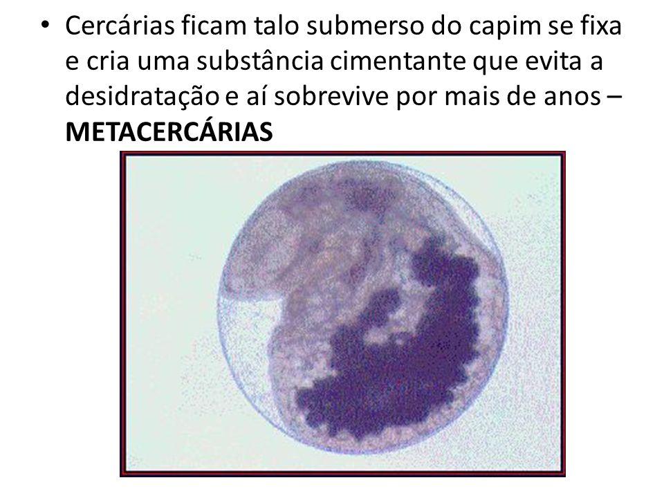 Cercárias ficam talo submerso do capim se fixa e cria uma substância cimentante que evita a desidratação e aí sobrevive por mais de anos – METACERCÁRI