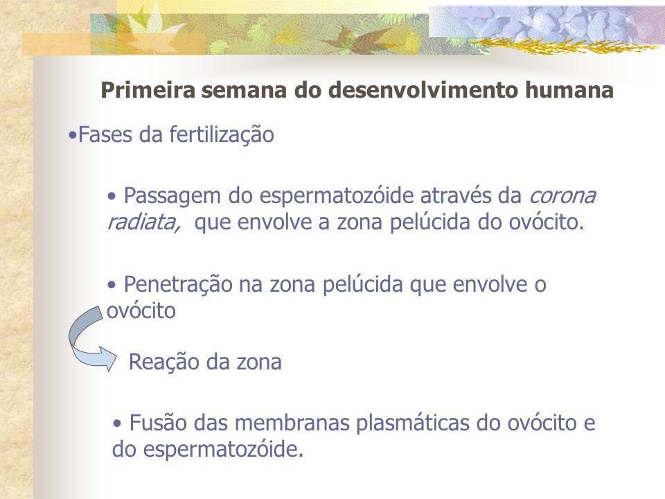 Primeira semana do desenvolvimento humana Fases da fertilização Passagem do espermatozóide através da corona radiata, que envolve a zona pelúcida do o