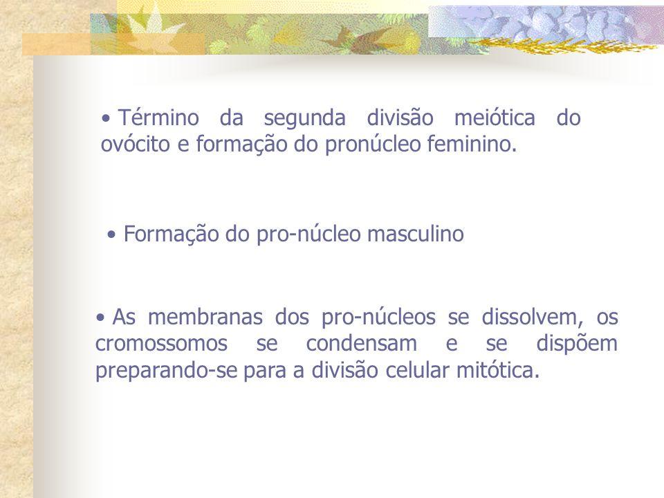 Término da segunda divisão meiótica do ovócito e formação do pronúcleo feminino. Formação do pro-núcleo masculino As membranas dos pro-núcleos se diss