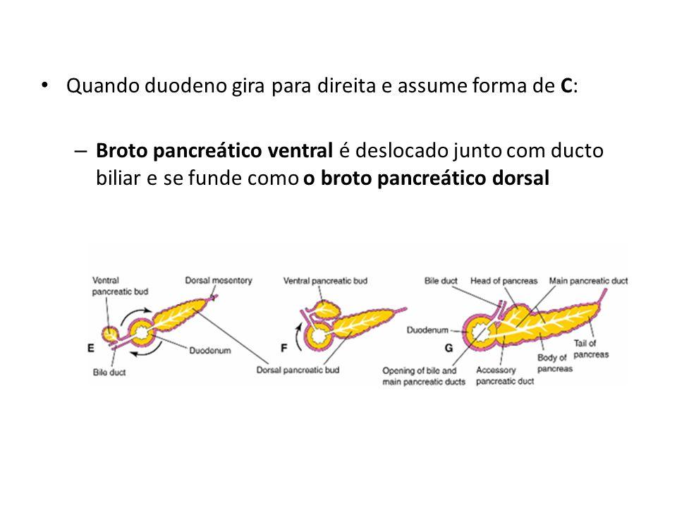 Quando duodeno gira para direita e assume forma de C: – Broto pancreático ventral é deslocado junto com ducto biliar e se funde como o broto pancreáti