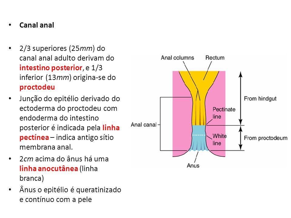 Canal anal 2/3 superiores (25mm) do canal anal adulto derivam do intestino posterior, e 1/3 inferior (13mm) origina-se do proctodeu Junção do epitélio