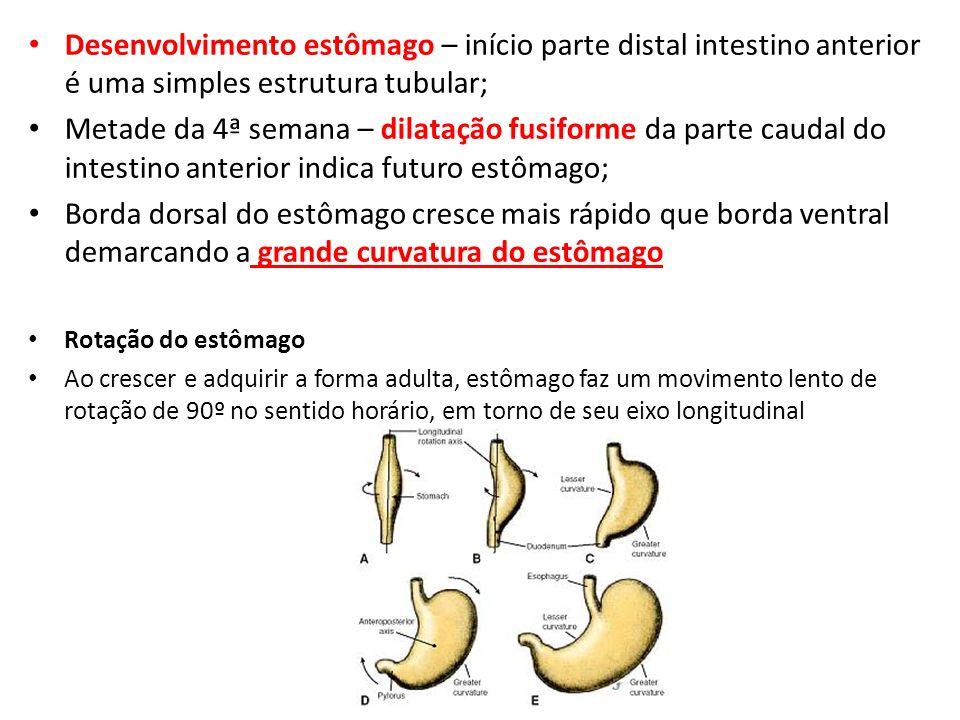 Desenvolvimento estômago – início parte distal intestino anterior é uma simples estrutura tubular; Metade da 4ª semana – dilatação fusiforme da parte