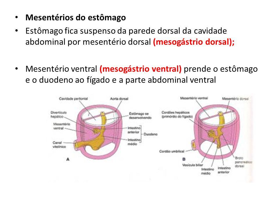 Mesentérios do estômago Estômago fica suspenso da parede dorsal da cavidade abdominal por mesentério dorsal (mesogástrio dorsal); Mesentério ventral (
