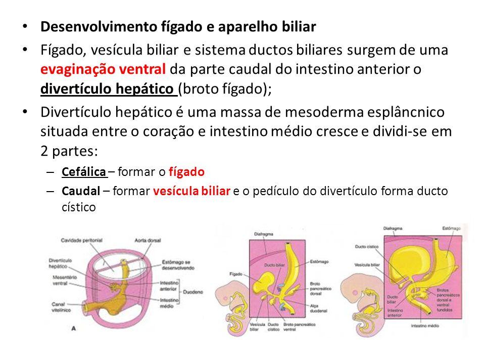 Desenvolvimento fígado e aparelho biliar Fígado, vesícula biliar e sistema ductos biliares surgem de uma evaginação ventral da parte caudal do intesti