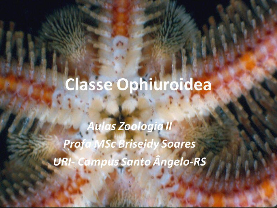 Ofiuróides constituem o maior número de espécies e, provavelmente, são também os mais abundantes.