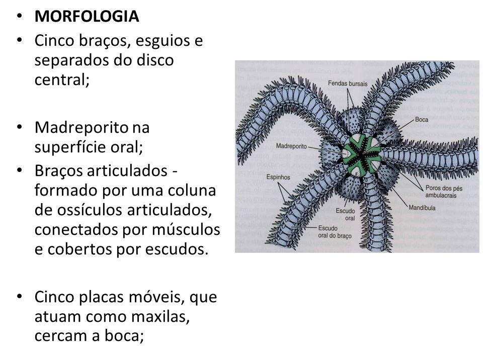 MORFOLOGIA Cinco braços, esguios e separados do disco central; Madreporito na superfície oral; Braços articulados - formado por uma coluna de ossículo