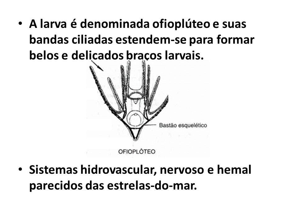 A larva é denominada ofioplúteo e suas bandas ciliadas estendem-se para formar belos e delicados braços larvais. Sistemas hidrovascular, nervoso e hem