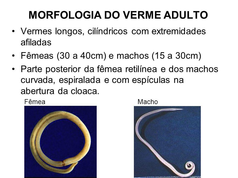 MORFOLOGIA DO VERME ADULTO Vermes longos, cilíndricos com extremidades afiladas Fêmeas (30 a 40cm) e machos (15 a 30cm) Parte posterior da fêmea retil
