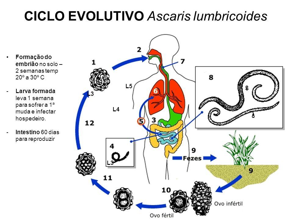 CICLO EVOLUTIVO Ascaris lumbricoides L3 L4 L5 Formação do embrião no solo – 2 semanas temp 20º a 30º C -Larva formada leva 1 semana para sofrer a 1ª m