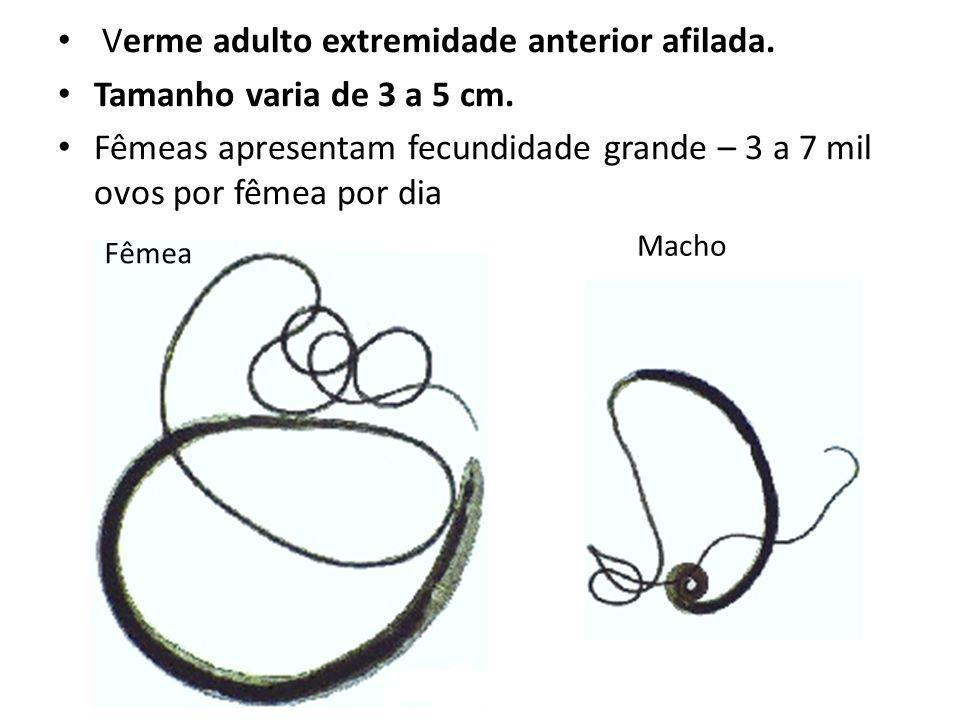 Verme adulto extremidade anterior afilada. Tamanho varia de 3 a 5 cm. Fêmeas apresentam fecundidade grande – 3 a 7 mil ovos por fêmea por dia Fêmea Ma