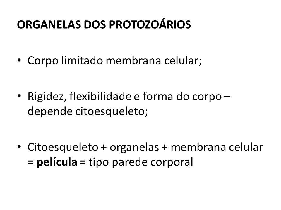 ORGANELAS DOS PROTOZOÁRIOS Corpo limitado membrana celular; Rigidez, flexibilidade e forma do corpo – depende citoesqueleto; Citoesqueleto + organelas + membrana celular = película = tipo parede corporal