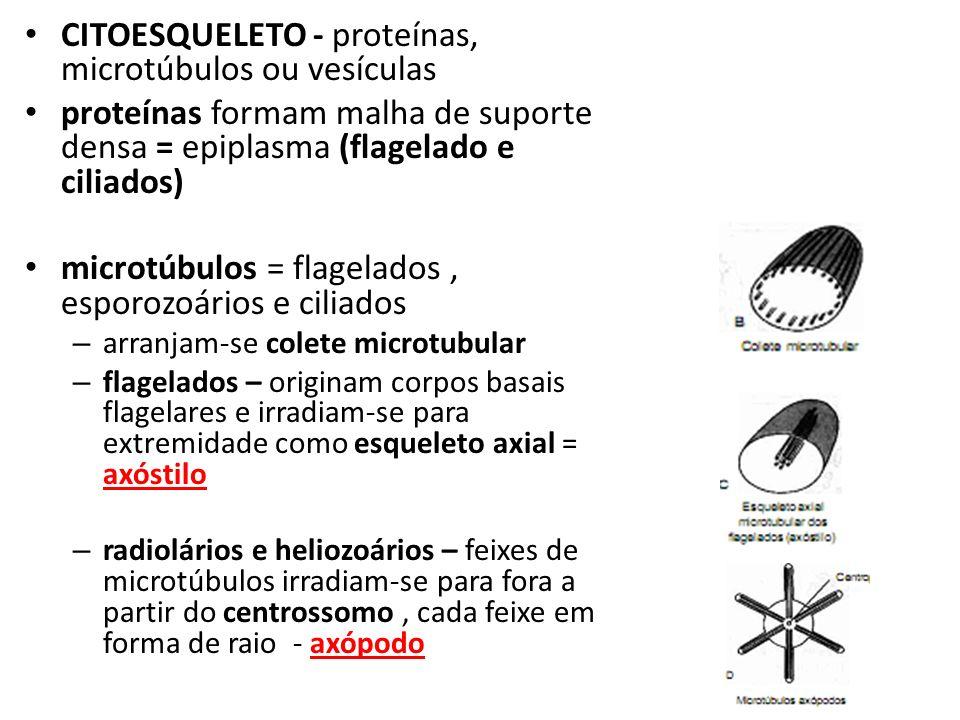 CITOESQUELETO - proteínas, microtúbulos ou vesículas proteínas formam malha de suporte densa = epiplasma (flagelado e ciliados) microtúbulos = flagelados, esporozoários e ciliados – arranjam-se colete microtubular – flagelados – originam corpos basais flagelares e irradiam-se para extremidade como esqueleto axial = axóstilo – radiolários e heliozoários – feixes de microtúbulos irradiam-se para fora a partir do centrossomo, cada feixe em forma de raio - axópodo