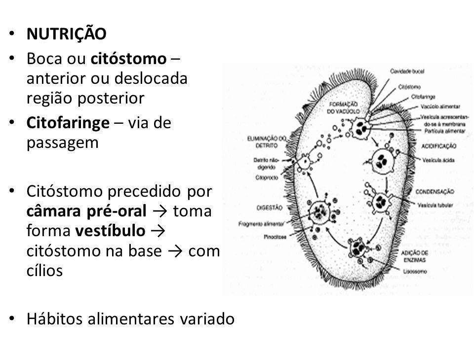 REPRODUÇÃO diferem presença micronúcleo – diplóides, RNA, depósito material genético, responsável troca genética e reorganização nuclear e origem do macronúcleo macronúcleo – núcleo vegetativo essencial metabolismo normal – divisão mitótica e controle diferenciação celular REPRODUÇÃO ASSEXUADA fissão binária – transversal – cortado nas fileiras longitudinais de cílios.
