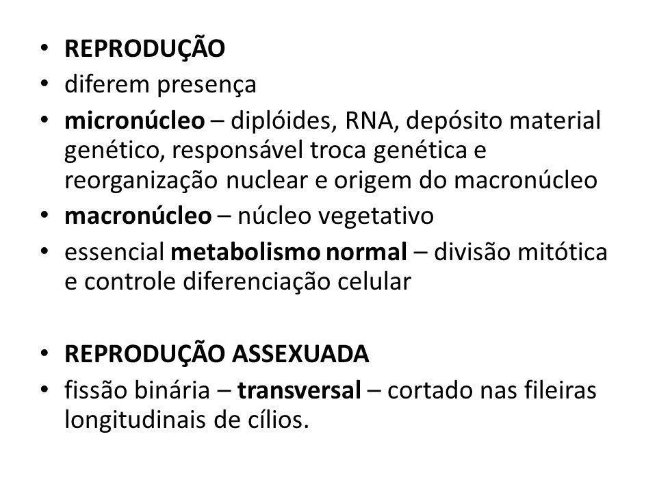 REPRODUÇÃO SEXUADA CONJUGAÇÃO - troca material genético através Contato região oral fusão membranas degeneração macronúcleo meiose micronúcleos 3 micronúcleos degeneram, 1 – dividi-se produzindo micro- gaméticos Núcleos gaméticos fundem-se formam núcleo zigótico Dois ciliados separam-se sincarionte dividi-se formando macro e 2 micronúcleos