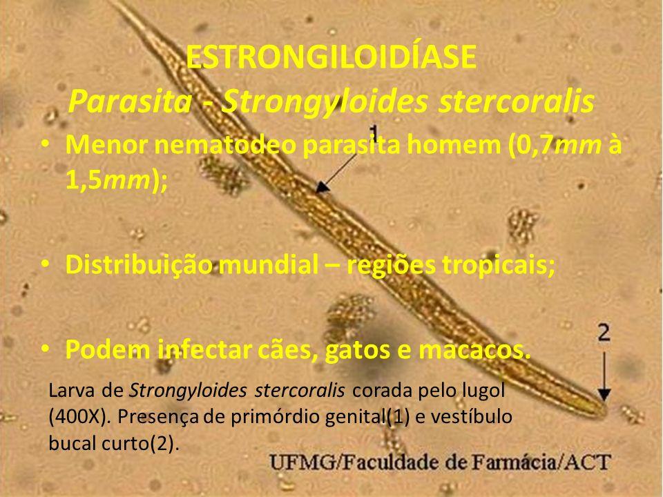 ESTRONGILOIDÍASE Parasita - Strongyloides stercoralis Menor nematodeo parasita homem (0,7mm à 1,5mm); Distribuição mundial – regiões tropicais; Podem