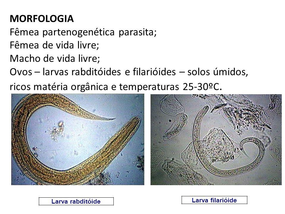 MORFOLOGIA Fêmea partenogenética parasita; Fêmea de vida livre; Macho de vida livre; Ovos – larvas rabditóides e filarióides – solos úmidos, ricos mat