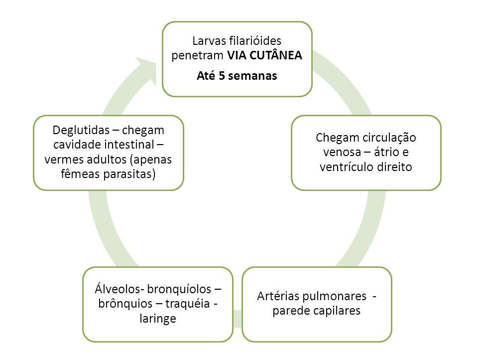 Larvas filarióides penetram VIA CUTÂNEA Até 5 semanas Chegam circulação venosa – átrio e ventrículo direito Artérias pulmonares - parede capilares Álv
