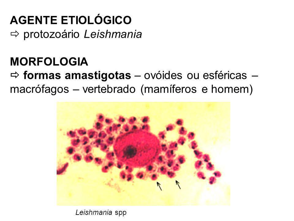 AGENTE ETIOLÓGICO protozoário Leishmania MORFOLOGIA formas amastigotas – ovóides ou esféricas – macrófagos – vertebrado (mamíferos e homem) Leishmania spp