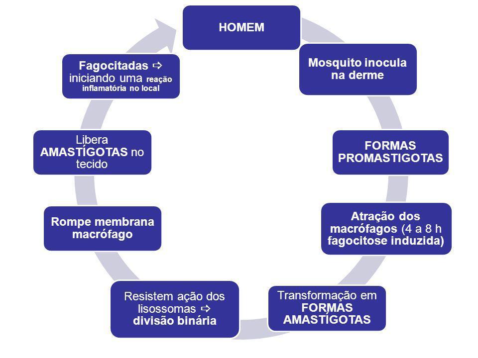 HOMEM Mosquito inocula na derme FORMAS PROMASTIGOTAS Atração dos macrófagos (4 a 8 h fagocitose induzida) Transformação em FORMAS AMASTÍGOTAS Resistem ação dos lisossomas divisão binária Rompe membrana macrófago Libera AMASTÍGOTAS no tecido Fagocitadas iniciando uma reação inflamatória no local