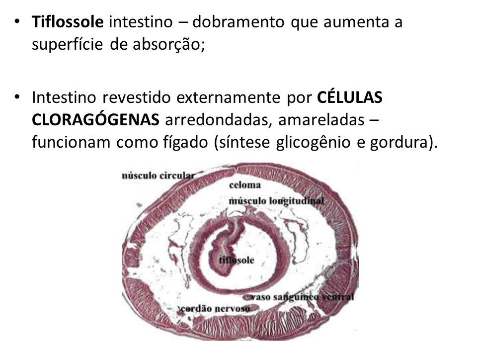 Tiflossole intestino – dobramento que aumenta a superfície de absorção; Intestino revestido externamente por CÉLULAS CLORAGÓGENAS arredondadas, amarel